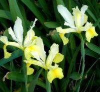 yellow20iris - *(How to Avoid Conflict With A Dose of Curiosity)*