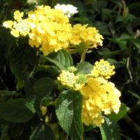 yellow20lantana - *(How to Speak Your Mind Without Feeling Monstrous!)*