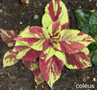 220tone20coleus20in20ground - *(How to deal with negative reactions you didn't intend to cause!)*