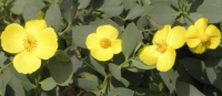 yellow20hellibore20rose - How to trust loved ones so you don't have to do everything yourself!