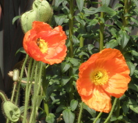 orange20poppies - Why Your Sex Life Doesn't Work and Three Ways to Revive it!