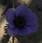 anemone20purple - How to survive a betrayal by a loved one