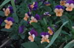 clump20of20orange20and20purple20violas - How To Handle the Loss of Hope That You Will Be Loved The Way You Want