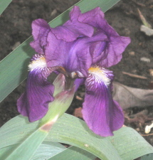Two Bloomed Purple Iris