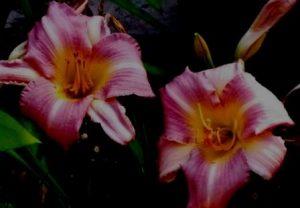 2 pink day lillies with dark background