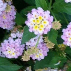 yellow-white-pink-cluster